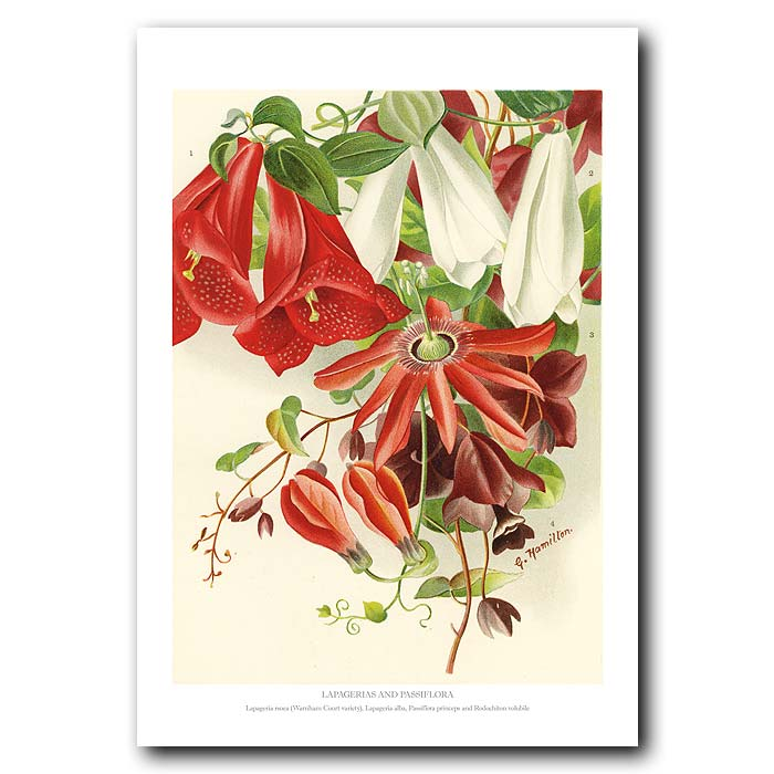 Fine art print for sale. Passion Flower And Lapageria Flower