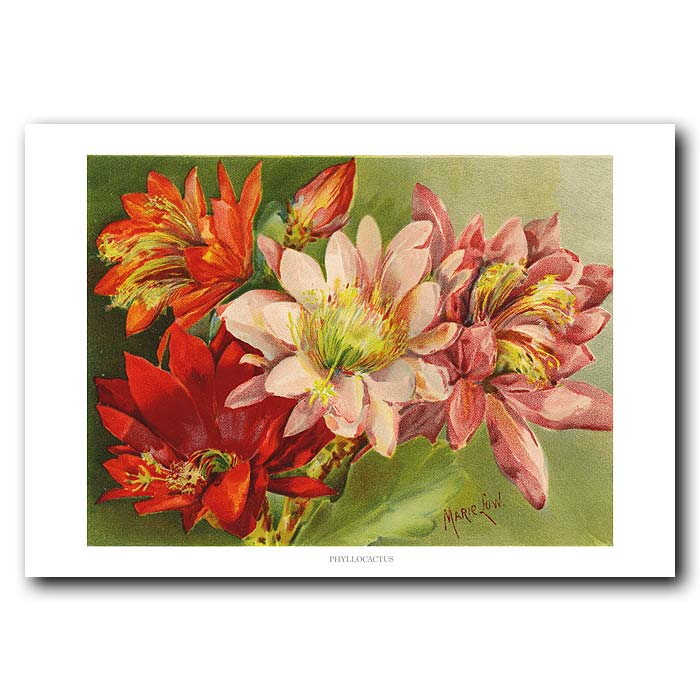 Fine art print for sale. Phyllacactus