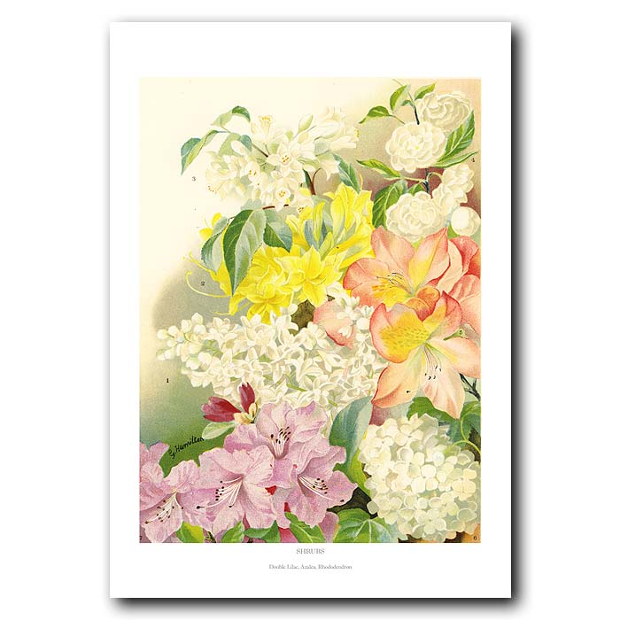 Fine art print for sale. Azalea, Lilac And Rhododendron