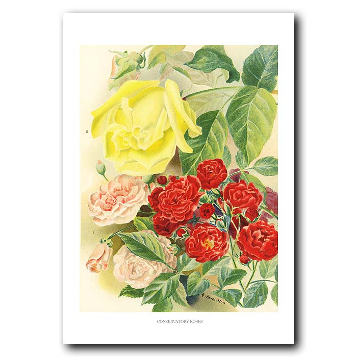Fine art print for sale. Conservatory Roses