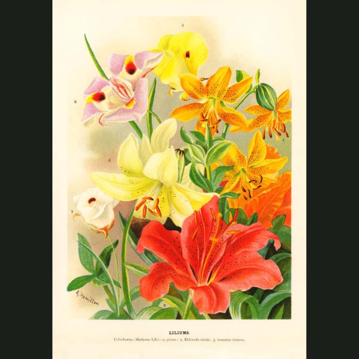 Fine art print for sale. Lilies