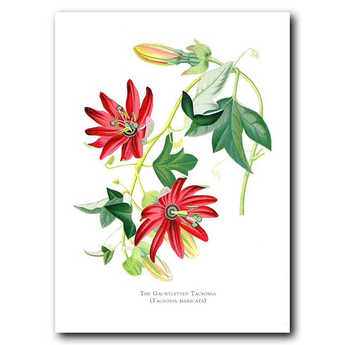 Fine art print for sale. Gauntleted Tacsonia Passion Flower. Tacsonia Manicata