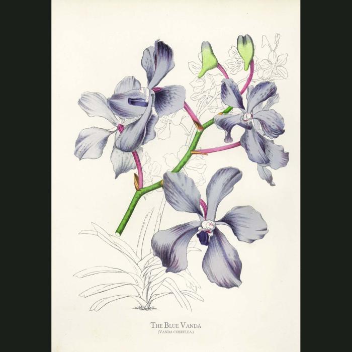 Fine art print for sale. A Blue Vanda Orchid. Vanda Coerulea