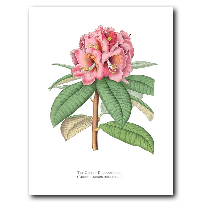 Fine art print for sale. Ceylon Rhododendron. Rhododendron Rollissoni