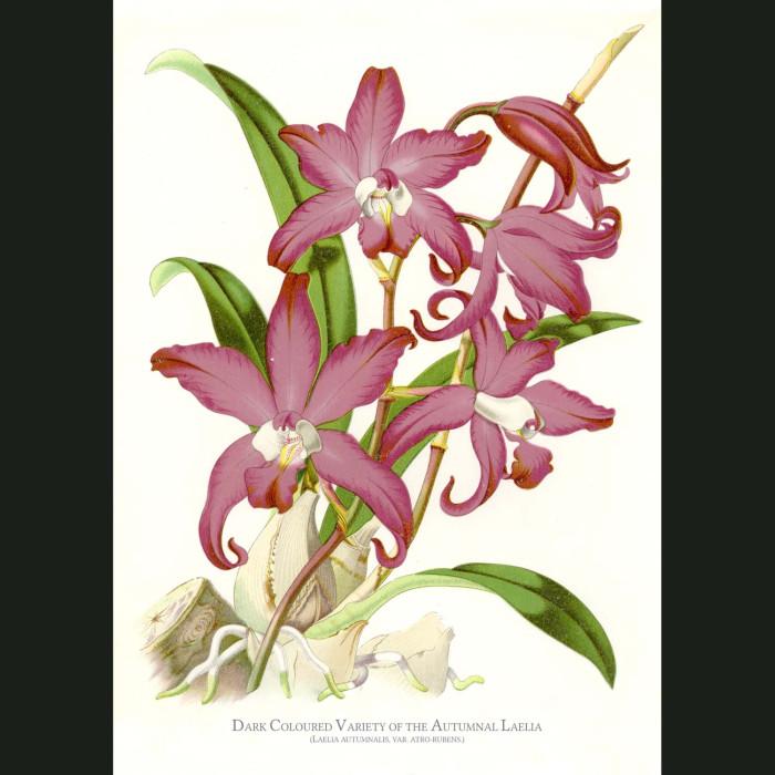 Fine art print for sale. Autumnal Laelia Orchid. Laelia Autumnalis