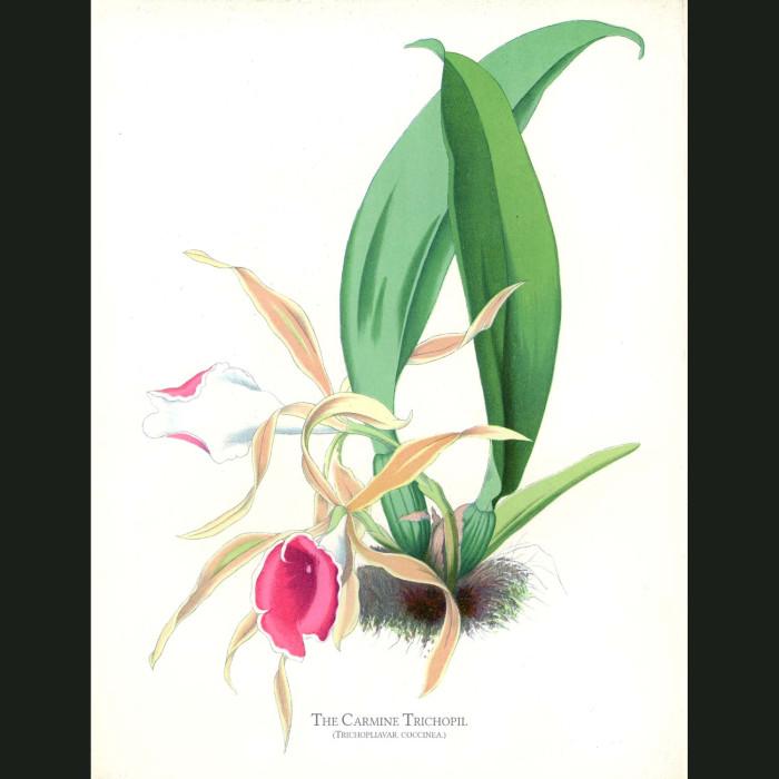 Fine art print for sale. Carmine Trichopil Orchid. Trichopilia Coccinea