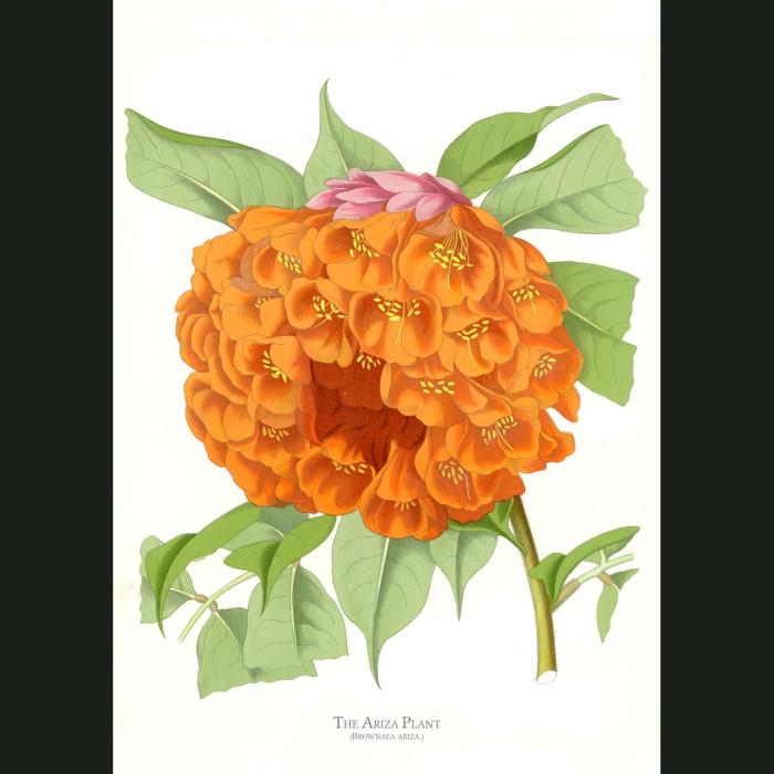 Fine art print for sale. Ariza Plant. Brownea Ariza