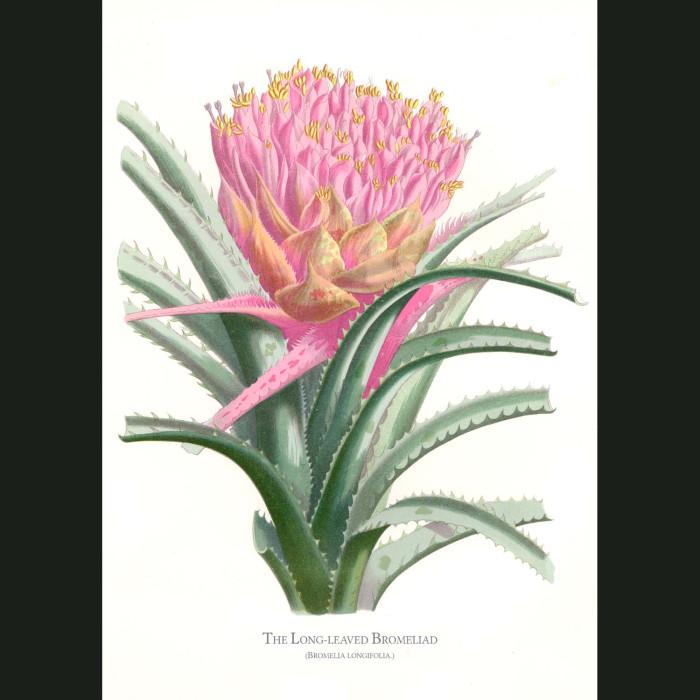 Fine art print for sale. Long Leaved Bromeliad. Billbergia Longifolia