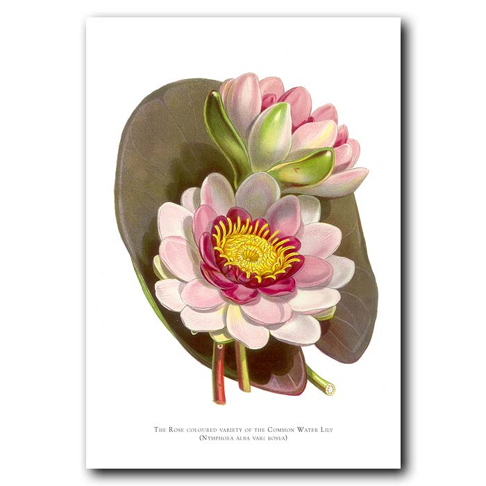 Fine art print for sale. Rose Coloured Water Lily. Nymphea Alba Var. Rosea