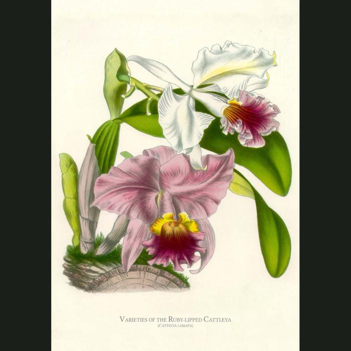 Fine art print for sale. Ruby Lipped Cattleya Orchid. Cattleya Labiata
