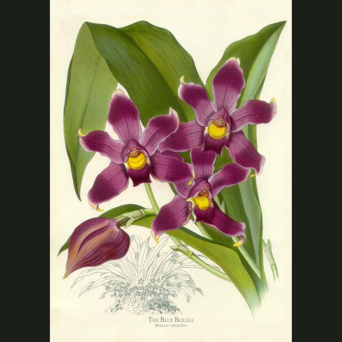 Fine art print for sale. Blue Bollea Orchid. Bollea Coelestis
