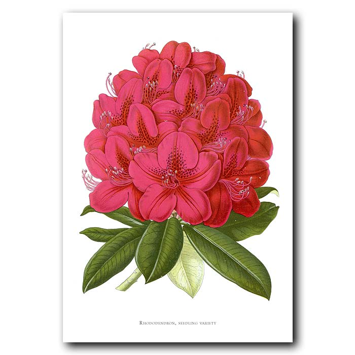 Fine art print for sale. Red Rhododendron.