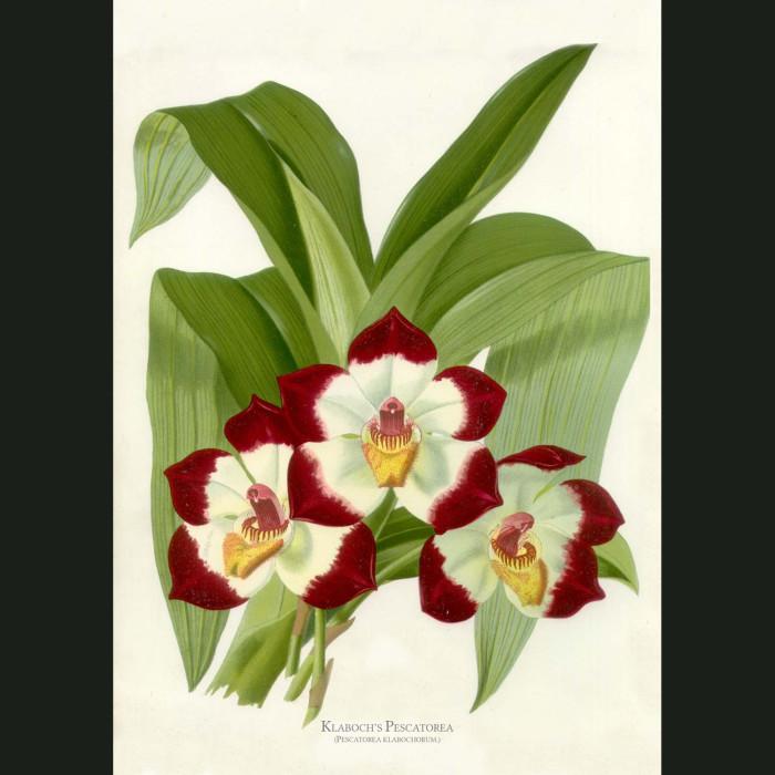Fine art print for sale. Klaboch's Pescatorea Orchid. Pescatorea Klabochorum