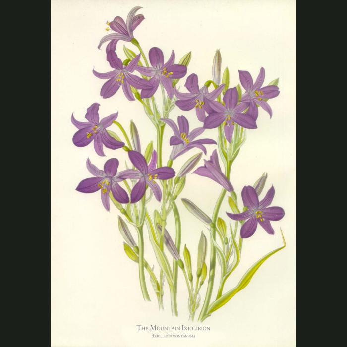 Fine art print for sale. Mountain Ixiolirion. Ixiolirion Montanum