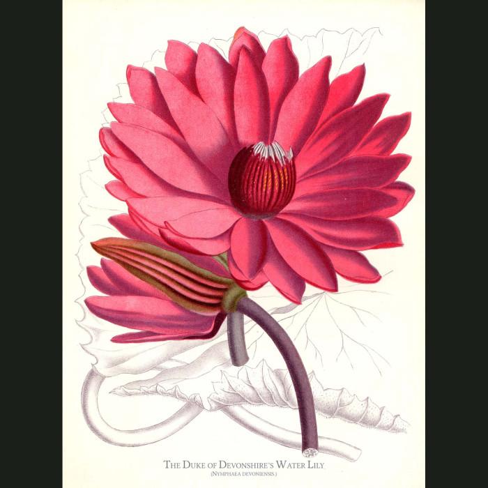 Fine art print for sale. Duke Of Devonshire's Water Lily. Nymphea Devoniensis
