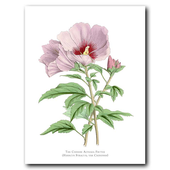 Fine art print for sale. Chinese Althaea Frutex. Hibiscus Syriacus Var Chinensis