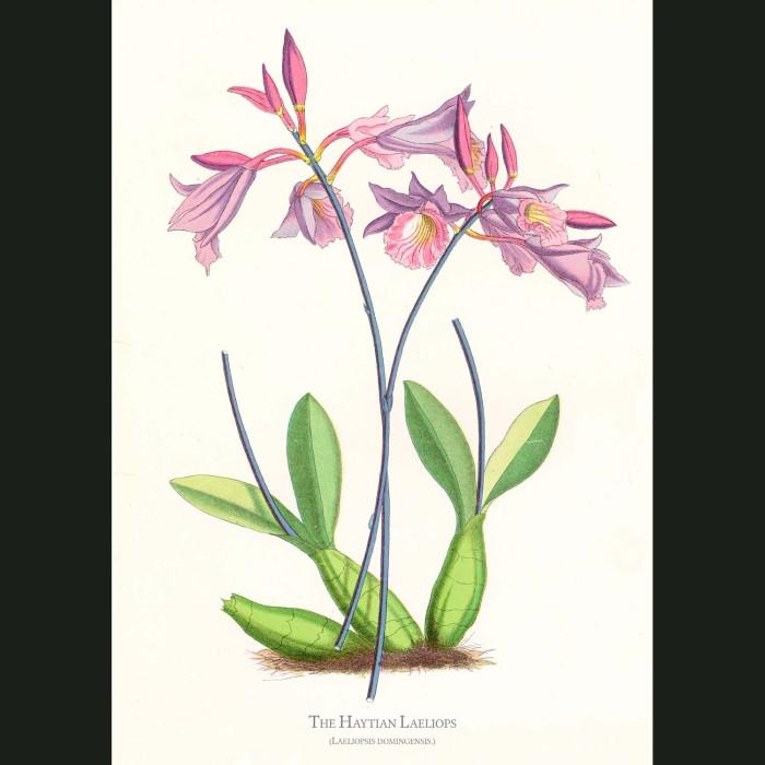 Fine art print for sale. Haiatian Laeliops Orchid. Laeliopsis Domingensis