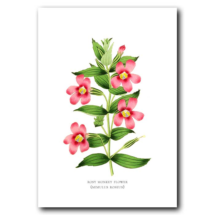 Fine art print for sale. Rosy Monkey Flower. Mimulus Roseus