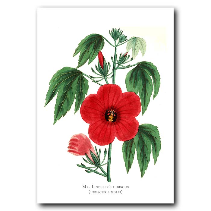 Fine art print for sale. Mr Lindeley's Hibiscus From Burma. Hibiscus Lindlei