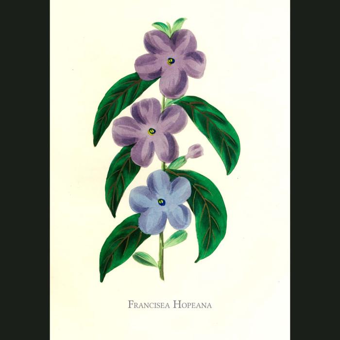 Fine art print for sale. Monkey Flower. Mimulus Variegatus