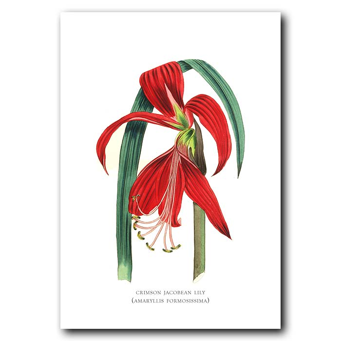 Fine art print for sale. Crimson Jacobean Amaryllis Lily. Amaryllis Formosissima