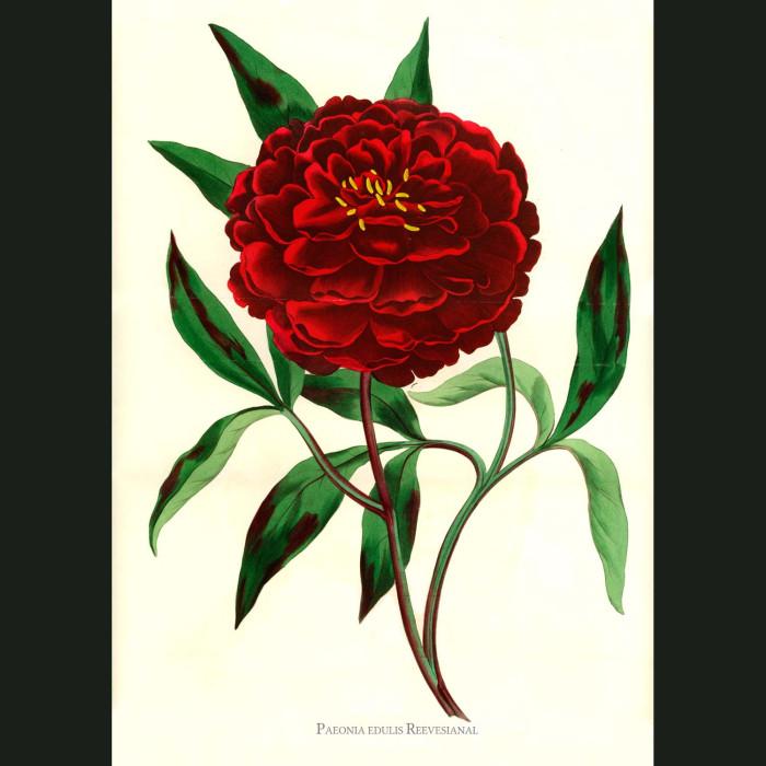 Fine art print for sale. Mr.Reeve's Peony. Poenia Edulis Reevesiana