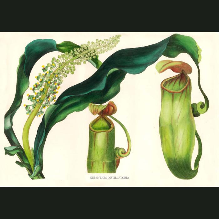 Fine art print for sale. Nepenthes Distillatoria Pitcher Plant.