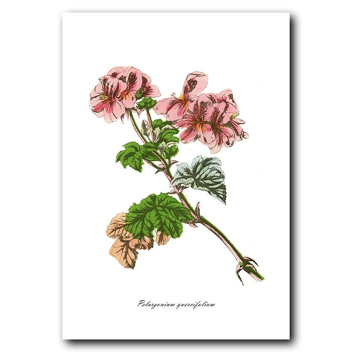 Fine art print for sale. Oak-Leaved Geranium