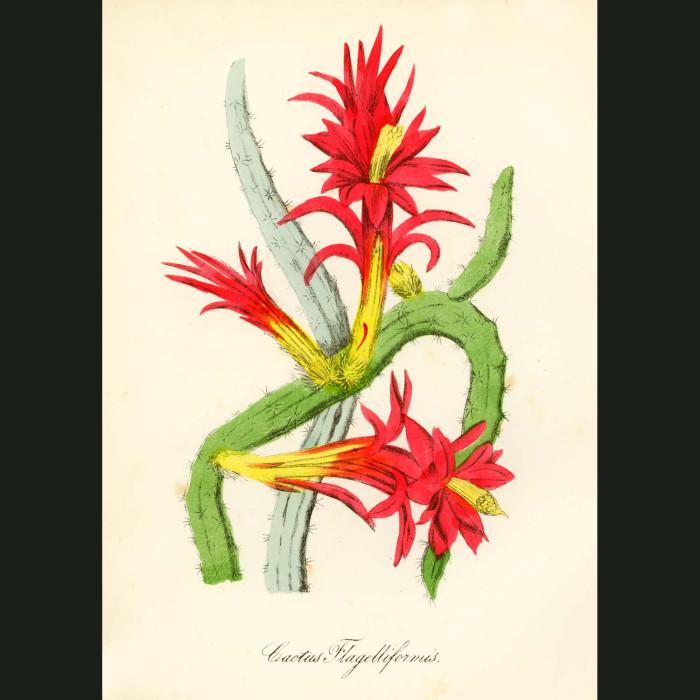 Fine art print for sale. Creeping Cereus Cactus