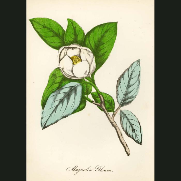Fine art print for sale. Small Magnolia