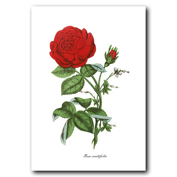 Fine art print for sale. Hundred Leaved Rose
