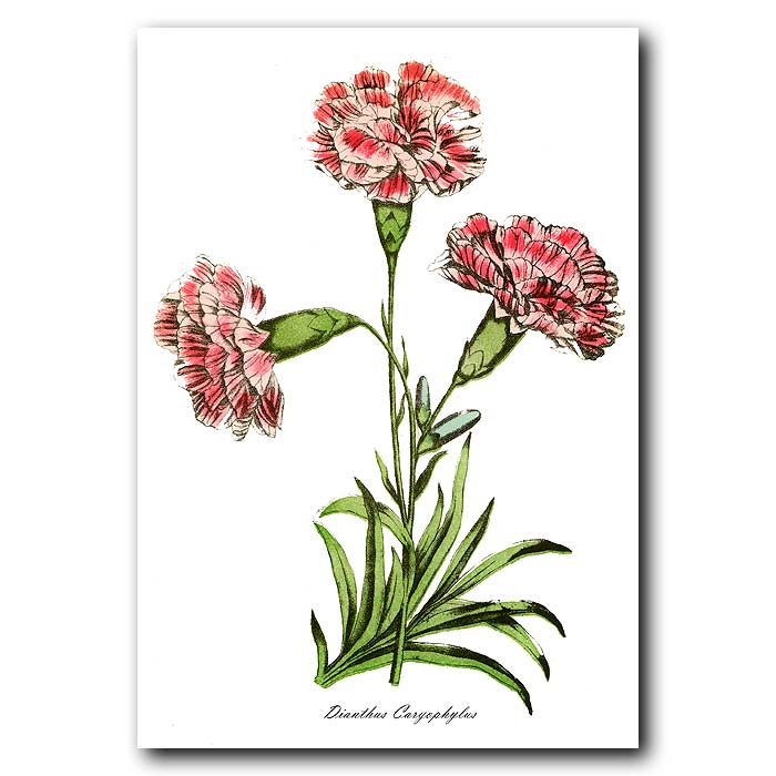 Fine art print for sale. Clove Carnation
