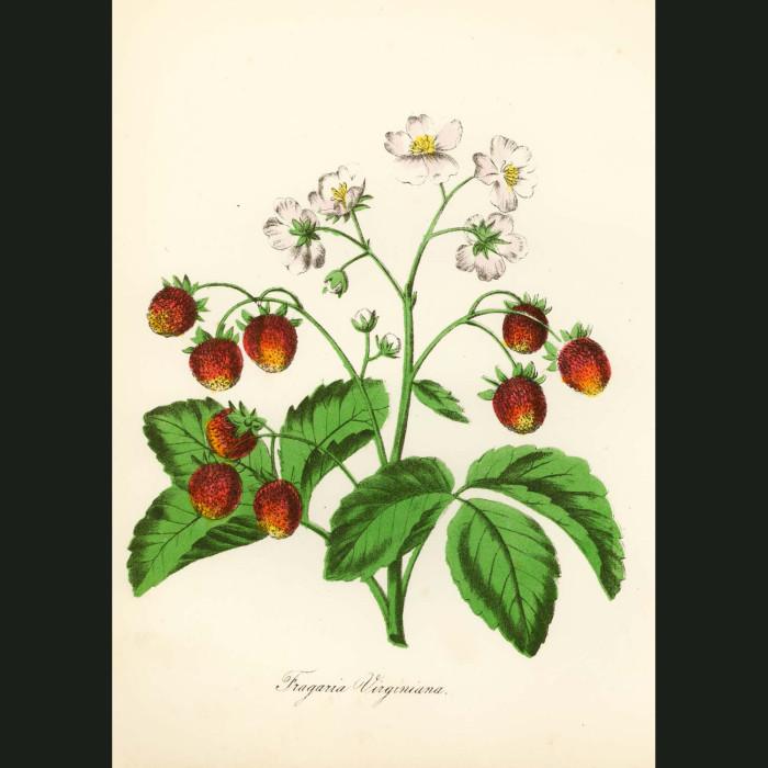 Fine art print for sale. American Strawberry