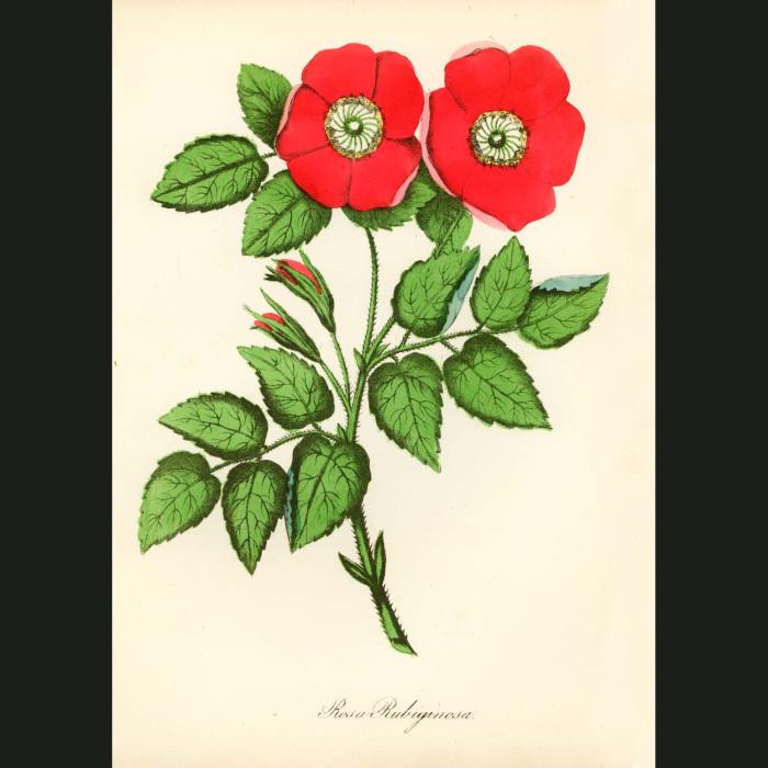 Fine art print for sale. Wild Briar Rose