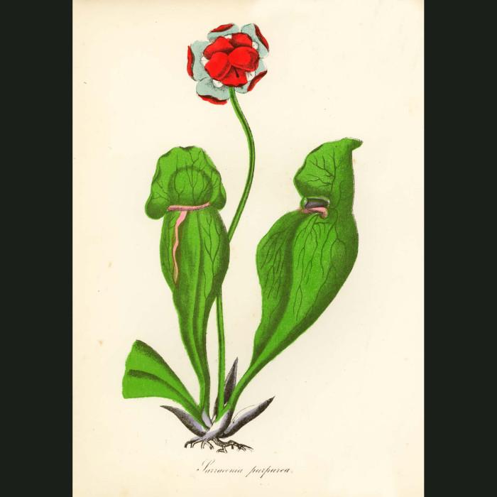 Fine art print for sale. Sarracenia Purpurea