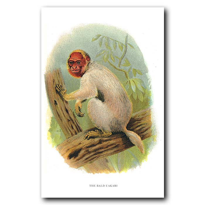 Fine art print for sale. Bald Uakari