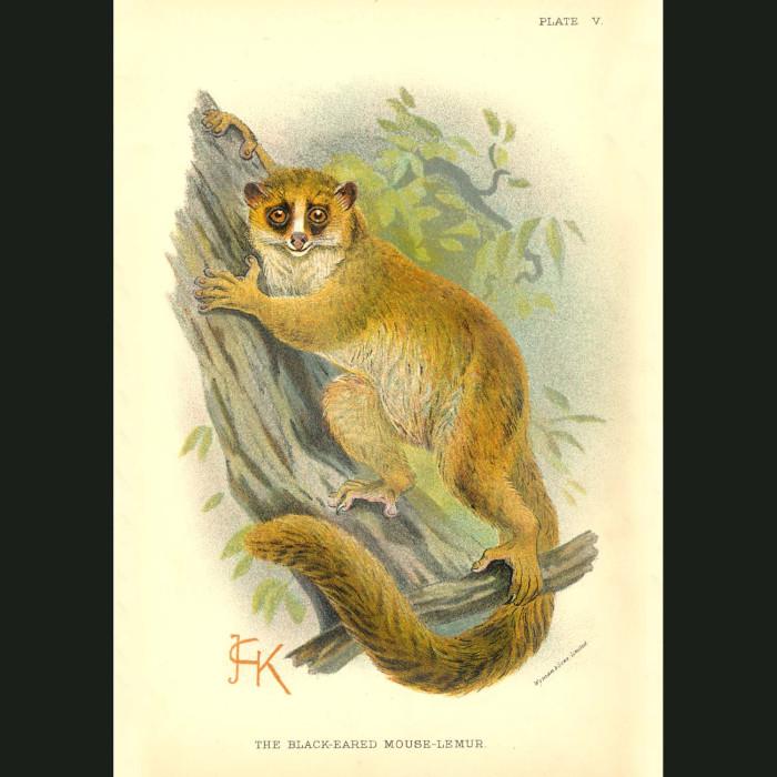 Fine art print for sale. Black-Eared Mouse Lemur
