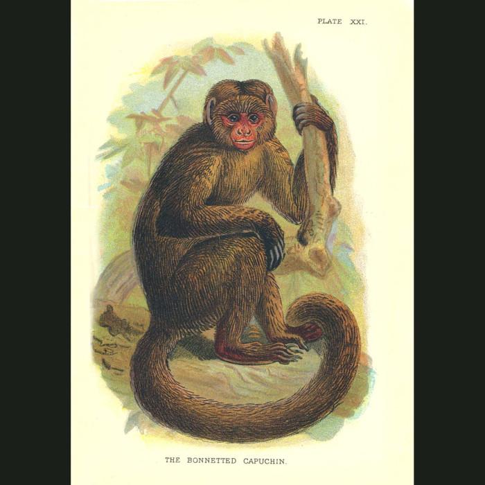 Fine art print for sale. Bonneted Capuchin Monkey