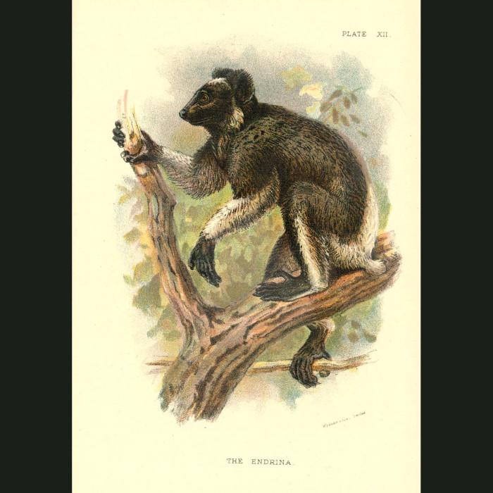 Fine art print for sale. Indri Lemur