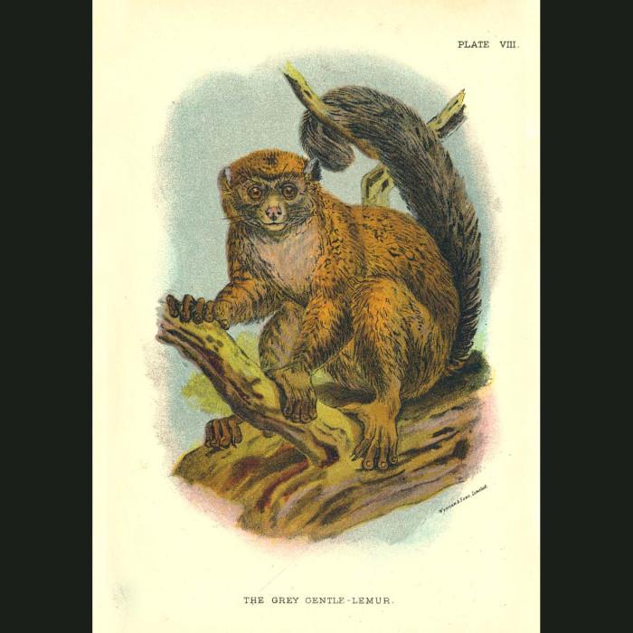 Fine art print for sale. Grey Gentle Lemur Or Bamboo Lemur