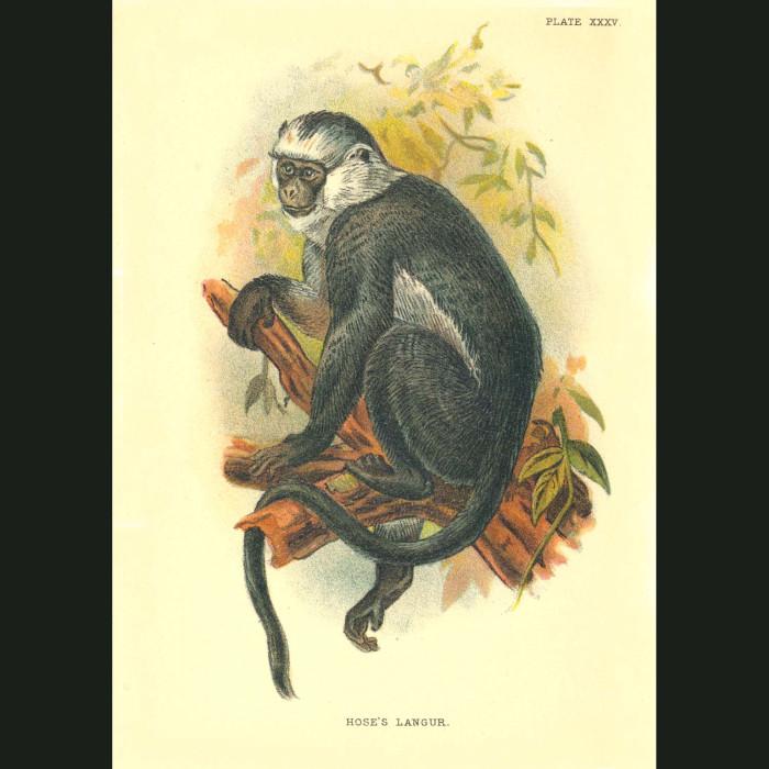 Fine art print for sale. Hose's Langur Monkey