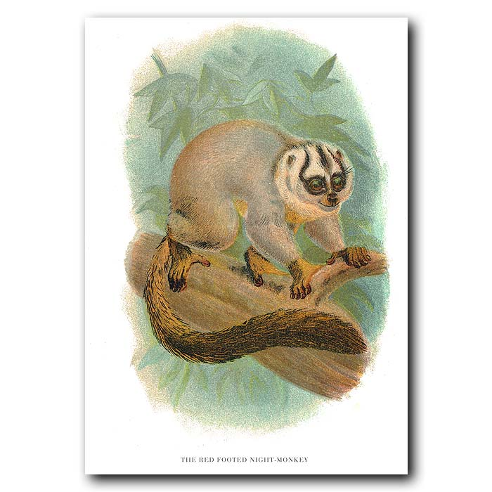 Fine art print for sale. Red-Footed Night Monkey