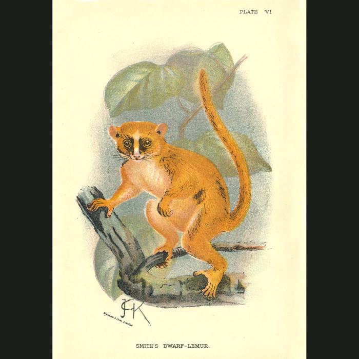 Fine art print for sale. Smith's Dwarf Lemur