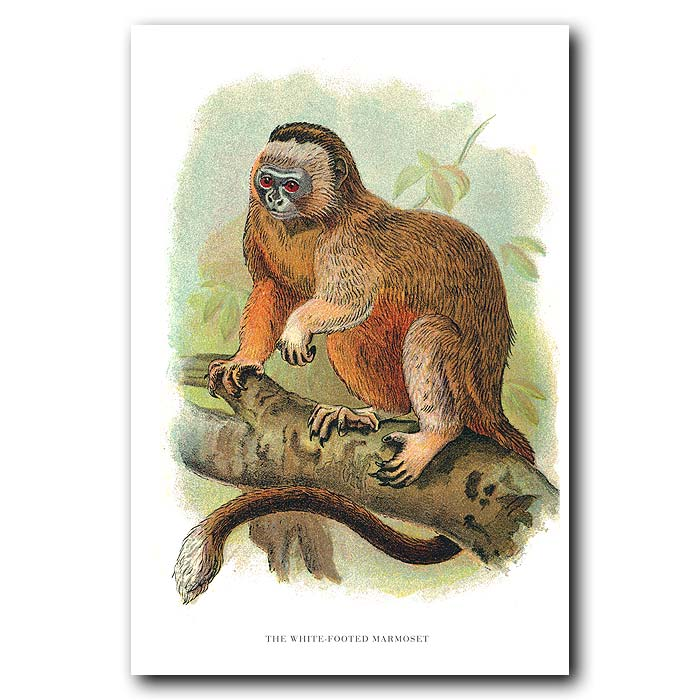 Fine art print for sale. White-Footed Marmoset