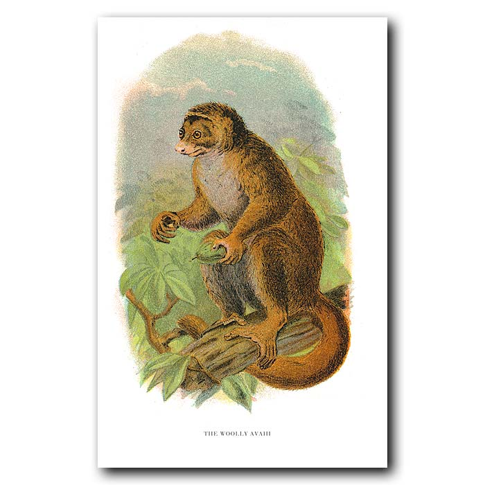 Fine art print for sale. Woolly Avahi Lemur