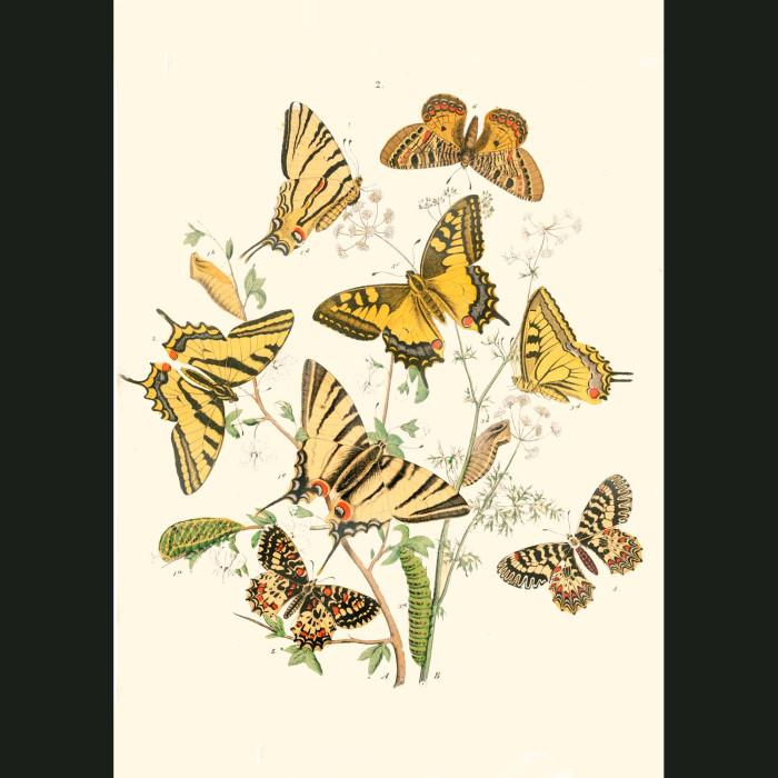 Fine art print for sale. Swallow-Tail & Apollo Butterflies