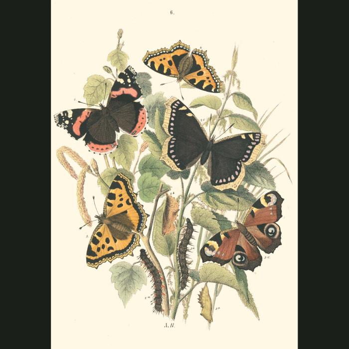 Fine art print for sale. Queen Of Spain & Russian Fritillary Butterflies