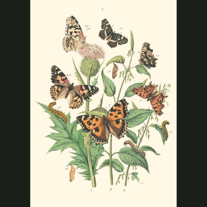 Fine art print for sale. Fritillary Butterflies