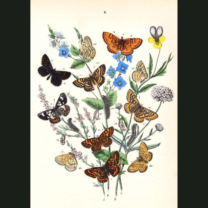 Fine art print for sale. Tortoiseshell Butterflies