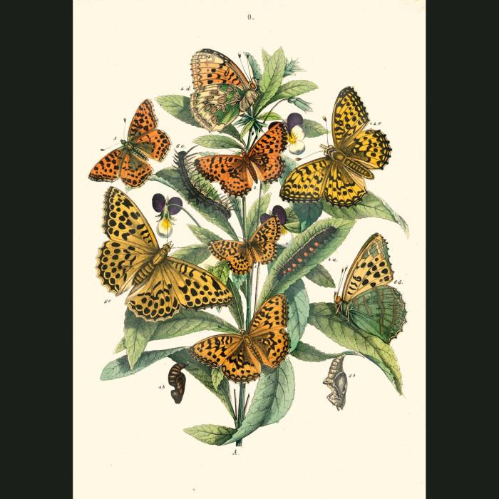 Fine art print for sale. White Admiral & Admiral Butterflies